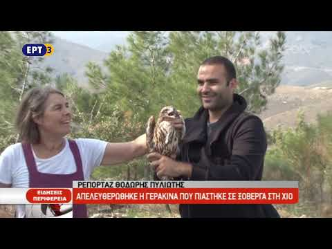 Απελευθερώθηκε η γερακίνα που πιάστηκε σε ξόβεργα στη Χίο | 23/10/2018 | ΕΡΤ