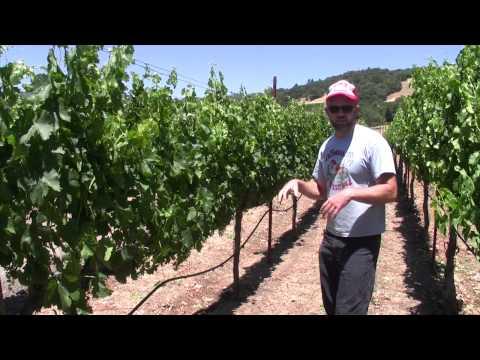 The Red Winery Merlot Vineyard