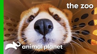 Red Panda Gets Special Treatment For Infected Foot Injuries   The Zoo by Animal Planet