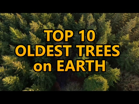 Top 10 oldest trees on Earth