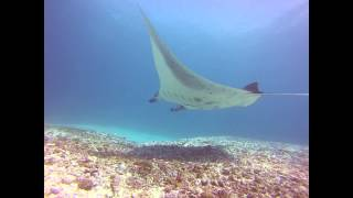 Diving with mantas!