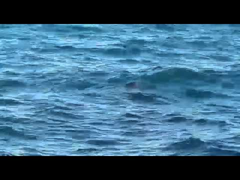Güllük'te fok balığı görüntülendi
