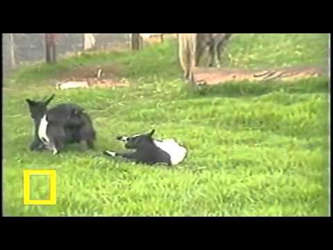 Stiffy Goats