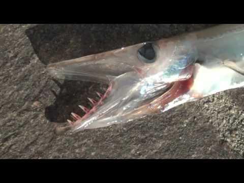 Catturato un raro pesce abissale attualit campo nell 39 elba for Un pesce allevato in acque stagnanti