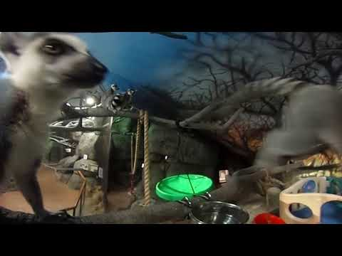 Staten Island 360 video: Hanging with the Zoo's Lemurs (видео)