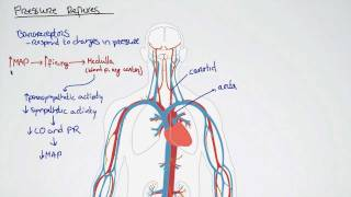 057 Pressure Reflexes And Mean Arterial Pressure
