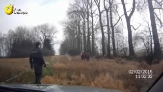 W nienawiści do policji został wychowany! Byk atakuje policjanta na pastwisku