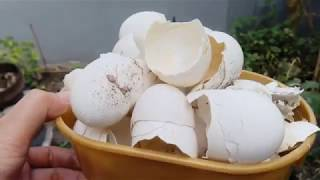 Video Make Effective Organic Fertilizer | How to prepare and Apply to Any Plants MP3, 3GP, MP4, WEBM, AVI, FLV Mei 2019