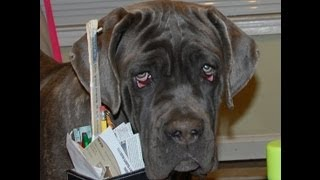 http://www.neapolitans.org WORLD Class Gorgeous Blue Neapolitan Mastiff Mastino Napoletano youngster male - impressive pedigree with all the Famous World Champions in one package on the background (World, International and AKC Champions, champions and best-in-show winners each generations, winners of Trofeo Mario Querci and ATIMANA shows - breed annual World level Dog shows. Blue Neapolitan Mastiff Wild Child FB - is gorgeous strong healthy male: correct in conformation, beautiful rectangular body, great topline, strong defined rear angles, good muscle tone, amazing feline (lion-like) movement, no pastern problem, cat rounded feet; big square head with the correct set of wrinkles. AKC Breeder of Merit AWARD, AKC Top Breeder AWARD for the most number our bred Neapolitan Mastiff dogs accomplished AKC champion titles! http://www.neapolitans.org