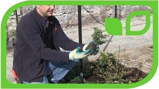 Ippenburger Gartentipps: Wie wird Ilex crenata als Buchsbaumersatz gepflanzt?