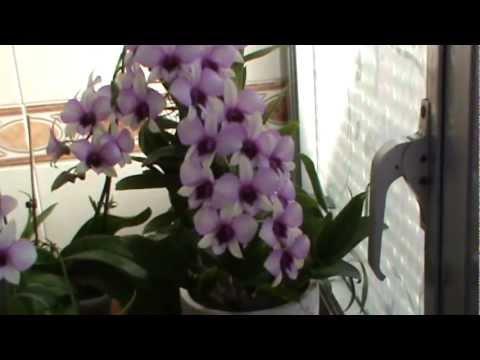 Cuidar orquideas en casa videos videos relacionados - Cuidar orquideas en casa ...