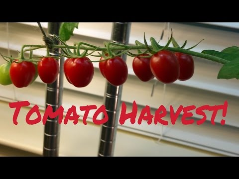 Indoor Grown Vine Ripened Tomatoes - Harvest Time!