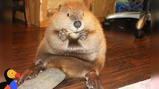 Video Rescue Beaver Loves Building Dams In His House - JUSTIN BEAVER | The Dodo MP3, 3GP, MP4, WEBM, AVI, FLV Agustus 2018