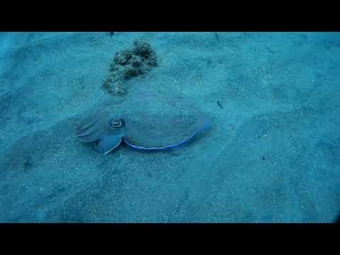 Видео каракатицы в естественной среде обитания