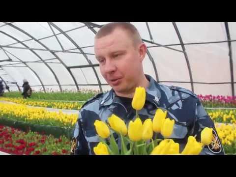 Самарские осужденные вырастили 75 тысяч тюльпанов