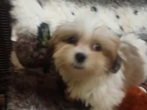 Baby Girl Shih-tese Puppy