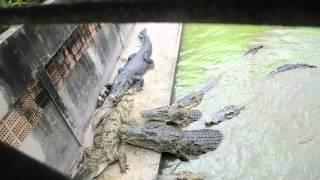 Feeding The Crocodiles In Bangkok (Samut Prakan Crocodile Farm And Zoo)
