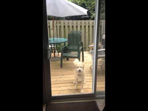 Perro hace saltos para que lo dejen entrar a la casa