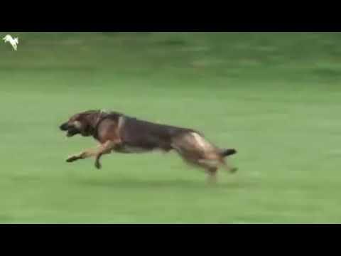 Tottelevainen koira – Pysähtyy käskystä kuin seinään