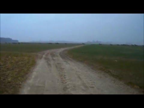Mega Stado Jeleni i Saren około 200 sztuk na polach w Zemsku i Strzępiniu