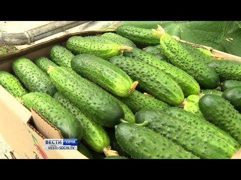 ВСочи начали собирать четвертый сначала года урожай огурцов