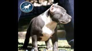 Pitbull Puppies For Sale, The Largest Bully Blue Pitbull, BGK's The Rock, Bully Blue Pitbull Puppy