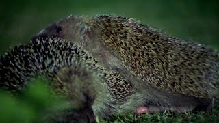 Hedgehogs Mating With Great Care - Life Of Mammals - BBC Earth