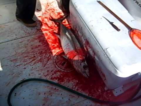 BLOODY DECK ALBACORE TUNA OCT 2009
