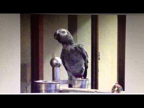 甄嬛傳~灰鸚馬克版African gray Parrot