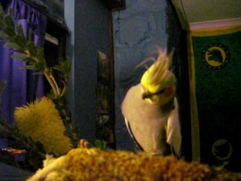 Meet My Pet Cockatiels