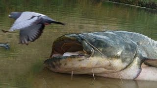 Holy Cow! These Enormous Catfish Do Something You Would Never Expect!