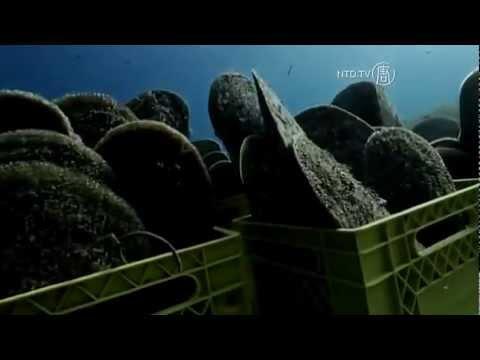 scoperte rarissime cozze giganti sotto la costa concordia?