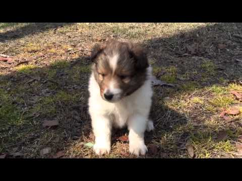 AKC sable sheltie male nice full collar