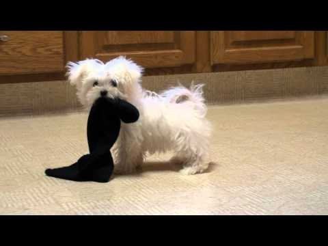 maltese puppy playing