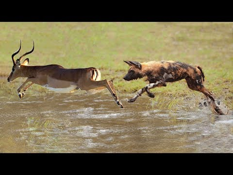Amazing Impala Failed To Escape From The Pack Wild Dog Hunting | Impala Crossing River