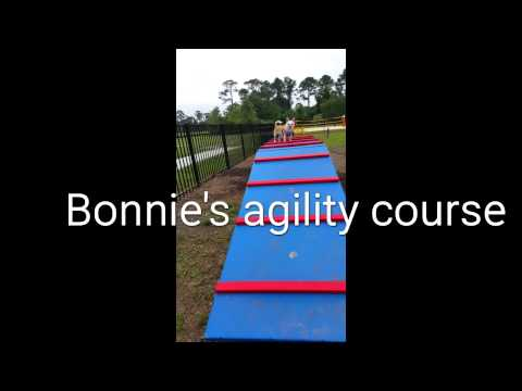 Bonnie the chihuahua's agility training