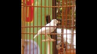 Một số loại chim cảnh hay nuôi trong nhà
