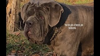 http://www.neapolitans.org Wild Child London - WORLD Class Gorgeous Blue Neapolitan Mastiff Mastino Napoletano youngster male - impressive pedigree with World Champions on the background (World, International and AKC Champions, champions and best-in-show winners, winners of Trofeo Mario Querci and ATIMANA shows - breed annual World level Dog shows. Blue Neapolitan Mastiff Wild Child London - is gorgeous strong healthy male: correct in conformation, beautiful rectangular body, great topline, strong defined rear angles, good muscle tone, amazing feline (lion-like) movement, no pastern problem, cat rounded feet; big head with the correct set of wrinkles. Nataural ears and tail. AKC Breeder of Merit AWARD, AKC Top Breeder AWARD for the most number our bred Neapolitan Mastiff dogs accomplished AKC champion titles! http://www.neapolitans.org