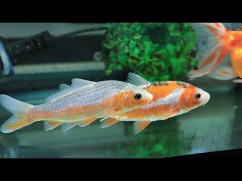 金魚・錦鯉混泳水槽に浅黄が新たに仲間入り!