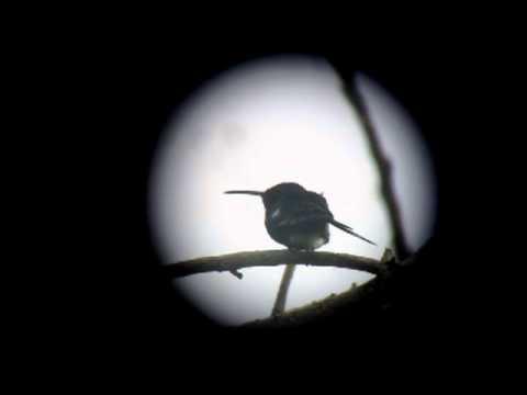 Endemic Sapphire-bellied Hummingbird - Lepidopyga lilliae - Isla Salamanca, Caribbean Lowlands