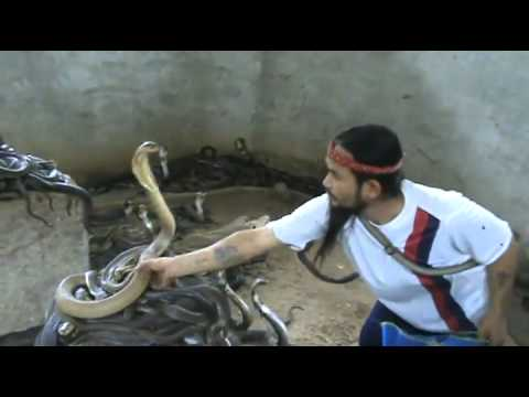 cobra - A crazy guy known as Cobra Man has 1000 Cobras as pets and for every show he selects a new Cobra.