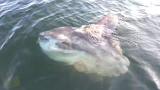 Video 5 Giant Fish | Fishing Moments | Huge Fish Caught On Camera MP3, 3GP, MP4, WEBM, AVI, FLV Oktober 2017