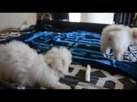 Maltipoo puppies playing