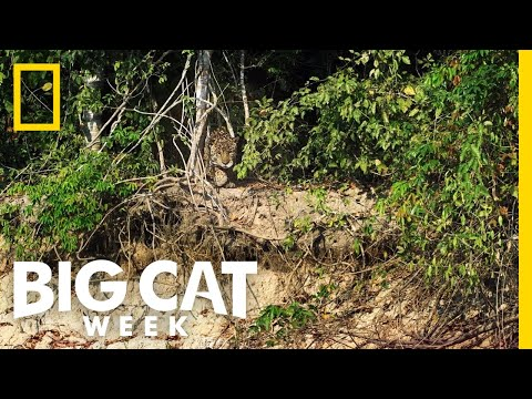 Pięknie się przyczaił! Jaguar vs krokodyl w krwiożerczej walce na śmierć i życie!