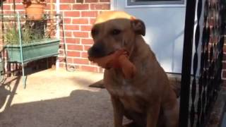 Hailey - Retriever / American Staffordshire Terrier / Mixed (short coat) Dog For Adoption