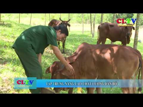 Nâng cao chất lượng đàn bò