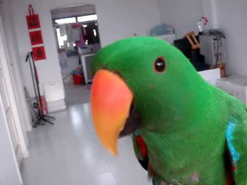 Eclectus Parrot Talk Darling Hello(Funny Face)
