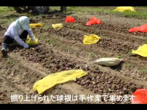 富山のチューリップ生産農家に密着  商品ができるまで
