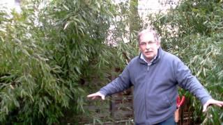#329 Schneiden im Garten 2011 Herr Inderkum 9v10 - Bambushecke mit Phyllostachys