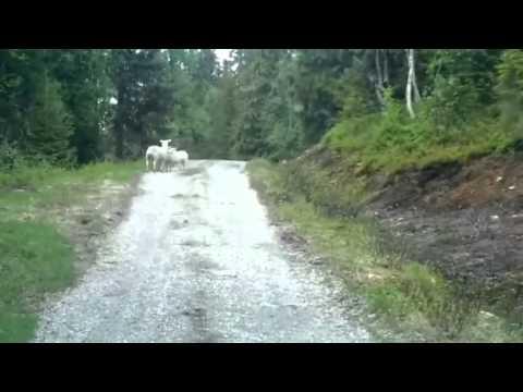 pecore che assalgono un lupo e lo fanno fuggire! incredile!